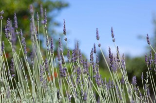 eco-friendly casa del sol lavender